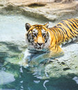Bengal tiger near the water Stock Images