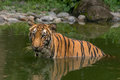 Bengal Tiger (Panthera Tigris) half submerged in a swamp Royalty Free Stock Photo
