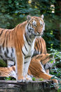 Bengal tiger panthera tigris tigris in captivity endangered Stock Photo