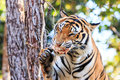 Bengal tiger panthera tigris tigris eating meat in the zoo of thailand Stock Images