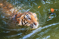 Bengal tiger panthera tigris tigris swimming in a pool at the zoo of thailand Royalty Free Stock Photography