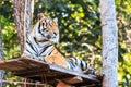 Bengal tiger panthera tigris tigris in the zoo of thailand Royalty Free Stock Photography