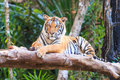 Bengal tiger panthera tigris tigris in the zoo of thailand Royalty Free Stock Photo