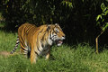 Bengal tiger on the prowl Royalty Free Stock Photography