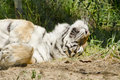 Bengal Tiger relaxing in the Michigan sun Royalty Free Stock Images