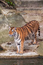 Bengal tiger standing on the rock near water orange and black striped Stock Image