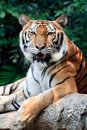 Bengal tiger starring at the camera Stock Images