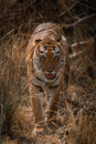 Bengal tiger walks towards camera in grass Royalty Free Stock Photo