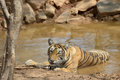 Bengal tiger in a waterhole Stock Images