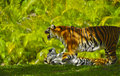 Bengal Tigers Stock Photo