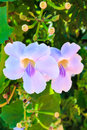 Bengal trumpet beautiful blue vine flower laurel clock vine thunbergia grandiflora roxb in thailand Royalty Free Stock Photo