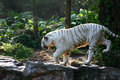 Bengal White Tiger prowling Royalty Free Stock Images