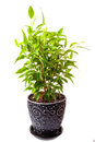Benjamin s ficus in a pot on a white background Stock Photos