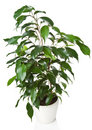 Benjamina de Ficus d'isolement Photos stock