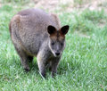 Bennett's Wallaby Stock Photography