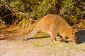 Bennett's Wallaby Royalty Free Stock Images