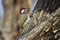 Bennett s woodpecker in kruger national park specie campethera bennettii family of picidae Stock Images