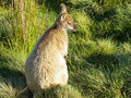 Bennett wallaby australia cradle mountain national park tasmania Stock Photography