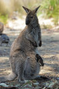 Bennett wallaby australia with a joey in its pouch freycinet national park tasmania Royalty Free Stock Photos
