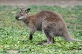 Bennett wallaby kangaroo macropus rufogriseus with red neck standing on the green grass Royalty Free Stock Photography