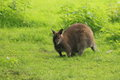 Bennett wallaby macropus rufogriseus on grass Stock Photo