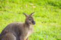 Bennett wallaby macropus rufogriseus with red neck standing on the green grass Royalty Free Stock Photos