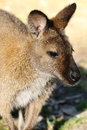 Bennetts wallaby the bennett is one of tasmania's most commonly seen native animals Stock Photography