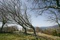 Bent trees of constant bora wind Royalty Free Stock Photo