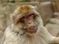 Berber monkey portrait of a Stock Photography