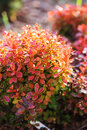 Berberis thunbergii Admiration close up in summer Royalty Free Stock Photo