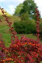 Berberis thunbergii red fruits and leafs of a Royalty Free Stock Images