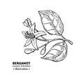 Bergamot flower branch vector drawing