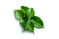 Bergamot a fresh leaf in isolate Stock Photo