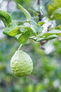 The bergamot fruit in a garden Stock Image