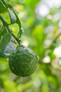 Bergamot fruit on the tree with water drop Royalty Free Stock Photos
