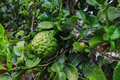 Bergamot or kaffir lime growing on tree Stock Images