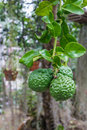 Bergamot or kaffir lime growing on tree Stock Photo