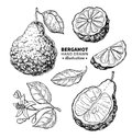Bergamot vector drawing.