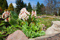 Bergenia bressingham white hybride in garden Royalty Free Stock Image