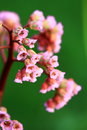 Bergenia crassifolia flowering cordifolia purpurea on the green background Stock Photo