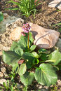 Bergenia crassifolia (L.) Fritsch Stock Images