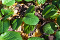 Bergenia crassifolia leives medicinal plant Stock Photography
