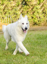 Berger blanc suisse a young beautiful dog walking on the grass the white swiss shepherd dog looks like a german shepherd but it is Royalty Free Stock Photo