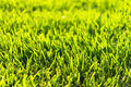 Bermuda grass lawn close up Royalty Free Stock Images
