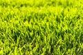 Bermuda Grass Royalty Free Stock Photo