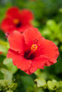 Bermuda red hibiscus flower growing on the tropical island of Royalty Free Stock Photography