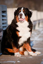 Bern sennenhund dog portrait Stock Photos