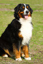 Berner sennenhund bernese mountain dog Royalty Free Stock Photos