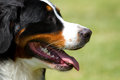 Berner sennenhund bernese mountain dog Stock Photography