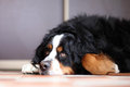 Berner Sennenhund dog Stock Photos